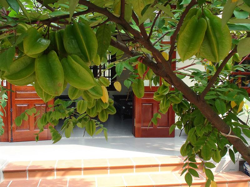 trồng cây khế trước cửa nhà trong phong thủy có tốt không?