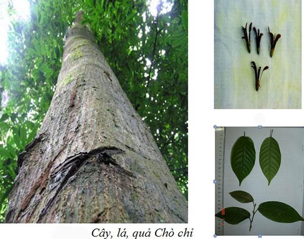 Cây gỗ Chò Chỉ trong tự nhiên
