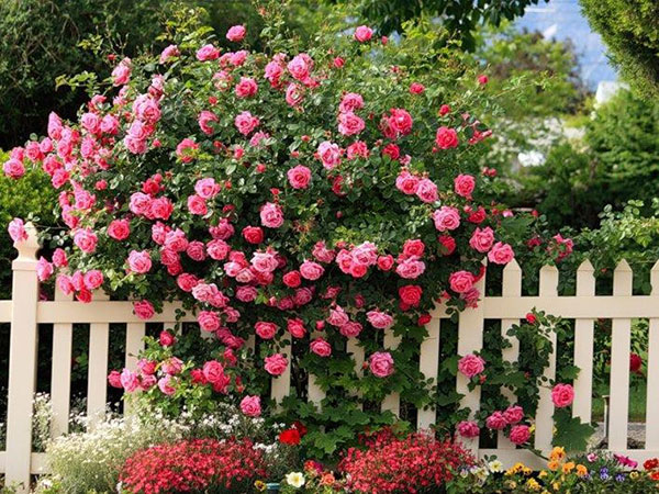 Trồng cây dây leo theo phong thủy - hoa hồng leo